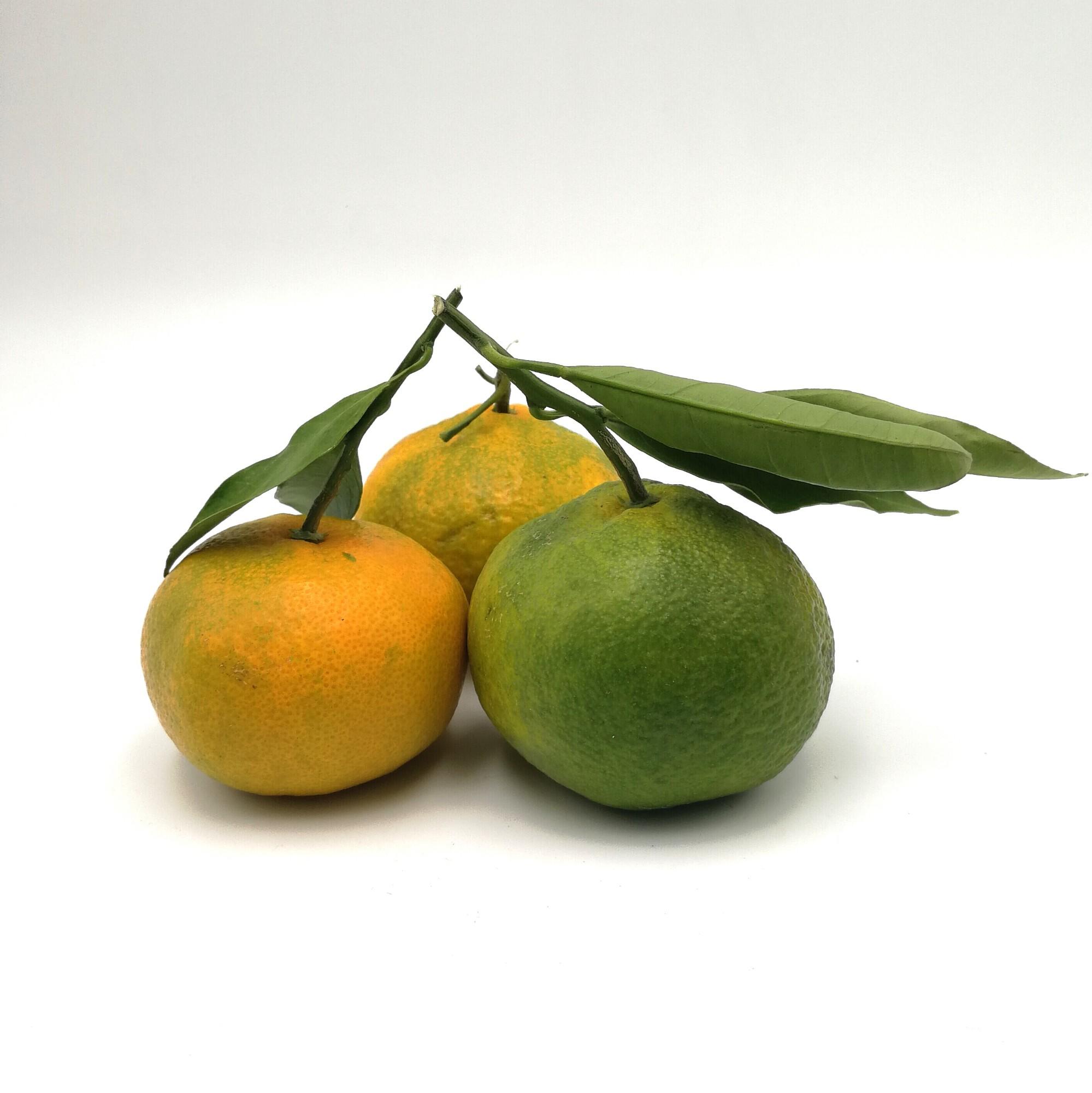 Mandarinai MIOCAWA, 2 klasė (Sicilija)